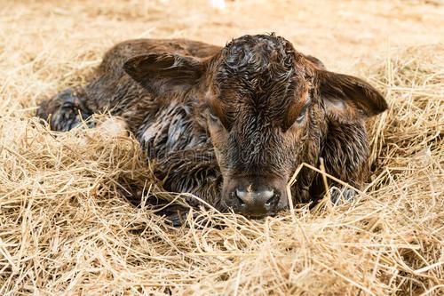 小牛看家—母牛分娩现象