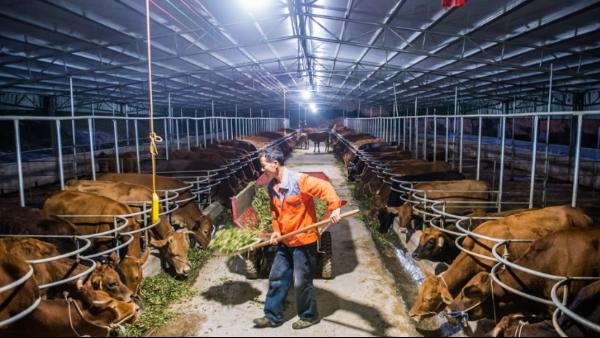 利用母牛排卵检测仪检测母牛发情 实现同期配种效果