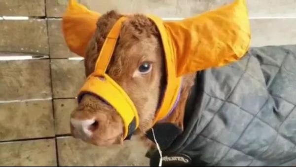 出初牛犊御寒攻略 降低初生牛犊低温症发病率