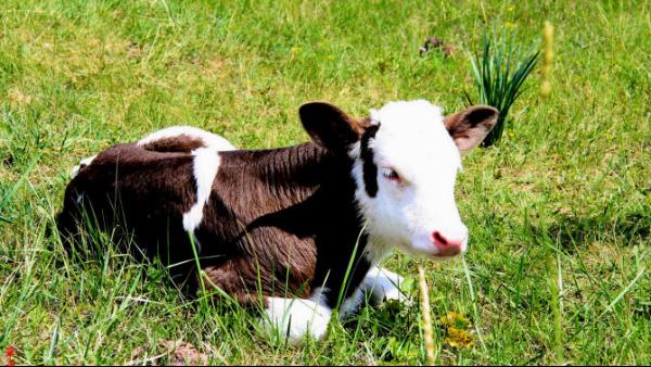 牛犊保温马甲 倍特双为牛犊驱寒保暖 提高小牛成活率