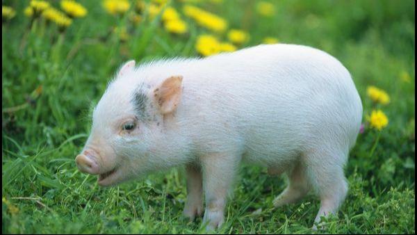 影响母猪产子率的因素 如何提升母猪产子率?