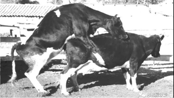 爱牧多为您整理了:母牛发情症状表现的几项表现!