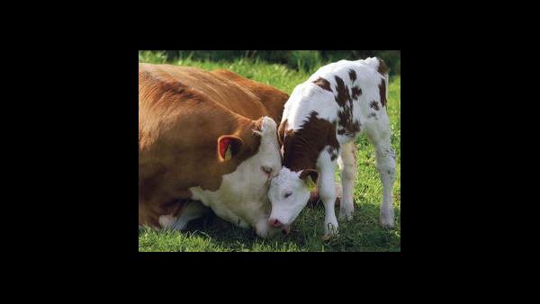 怀孕母牛的饲养管理
