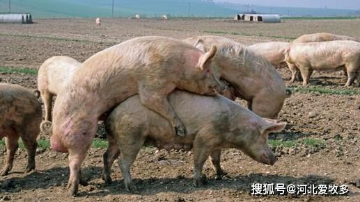后备公猪性欲低