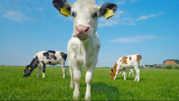 倍特双犊牛保温马甲 御寒保暖提高犊牛存活率