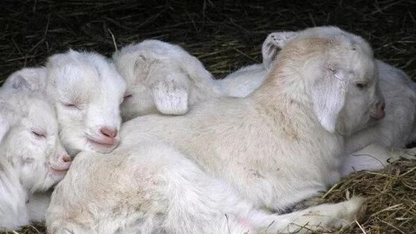 爱牧多浅析羊常见疾病的预防与控制措施