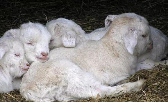 羊常见疾病的预防与控制措施