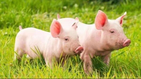 猪精到底如何稀释?猪精为什么需要稀释?