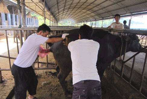 怀孕母牛直肠检测