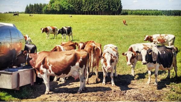 小牛看家—到底是什么方法可以精准判断出母牛的最佳发情配种时间?