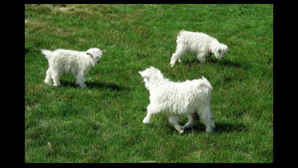 新生小羊羔安全度过哺乳期的管理方法