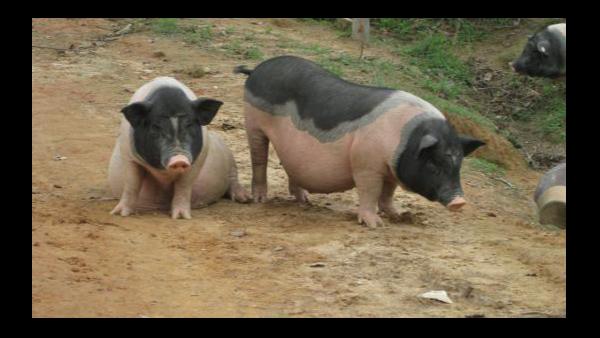 冬季养猪注意这六大事项,保证生猪健康成长!