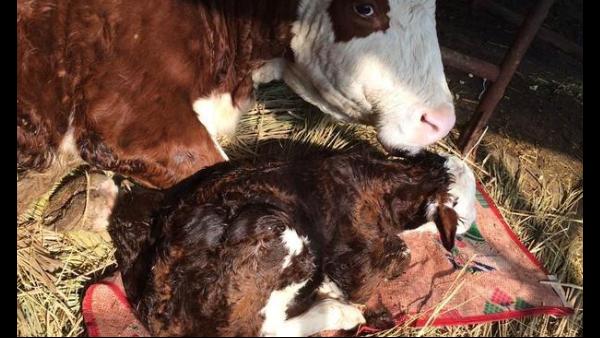 气温骤降养牛人怎么办?冬季牛棚保温攻略
