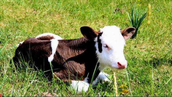 冬季养牛常见的几种疾病如何预防?冬季牛舍保暖的几点注意事项