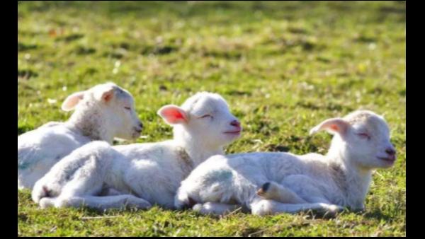 倍特双羊繁育设备 轻松提升羊繁育效率