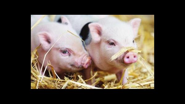 新生仔猪产后四天护理、养猪人必看。