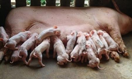 新生仔猪护理