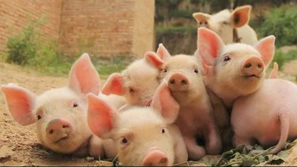 小猪出生后多久剪牙断尾?目的是什么?