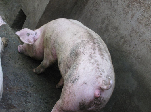 母猪发情身体特征