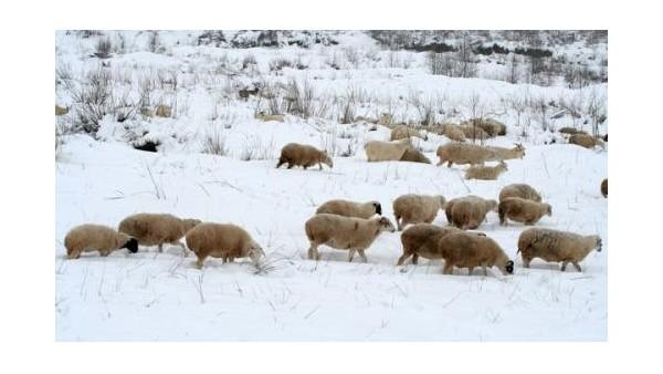 河北爱牧多为您详细解答:羊群冬季放牧以及饲喂的方法。
