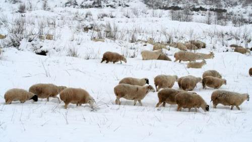 冬季羊群放牧