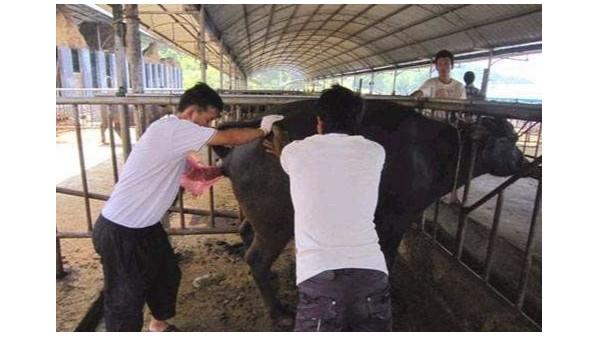 """养殖户的""""火眼金睛"""",识破母牛异常发情,挽救养殖效益!"""