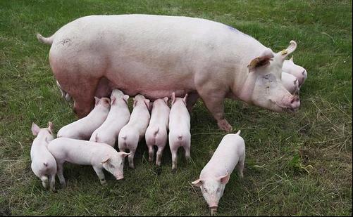 母猪人工输精操作