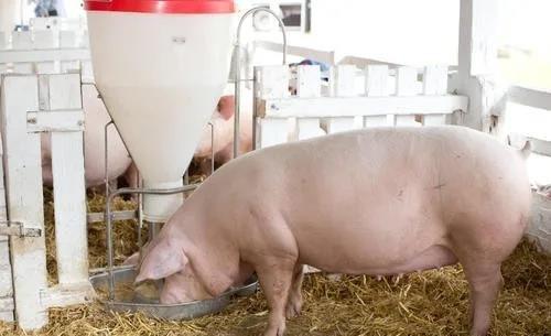 母猪输精时间
