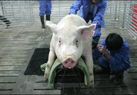 小牛看家-种猪采精