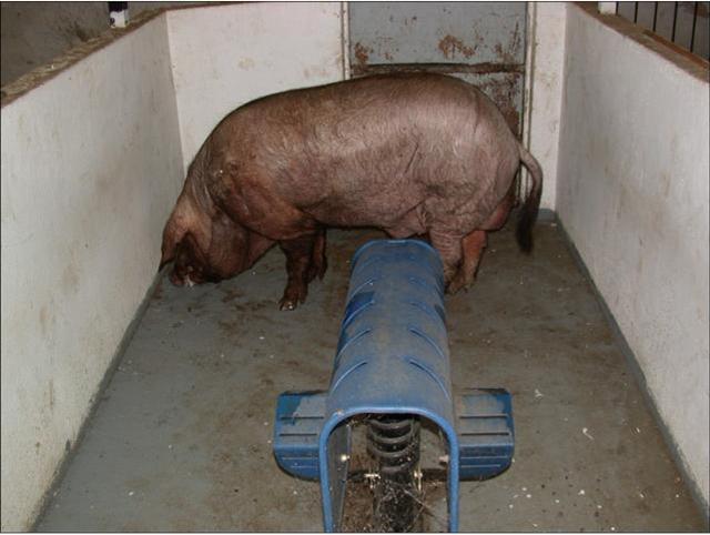 种公猪采精