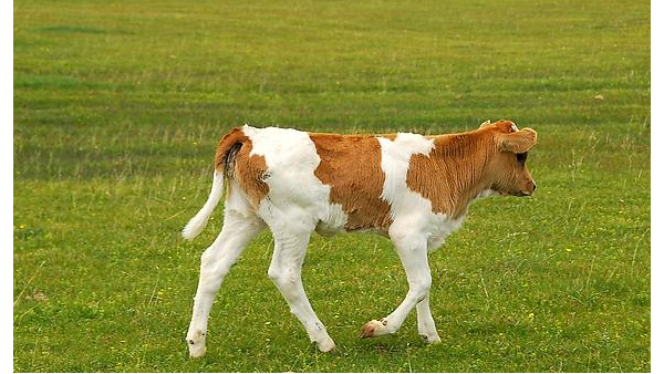 犊牛保温马甲的重要性!如何提升犊牛体温