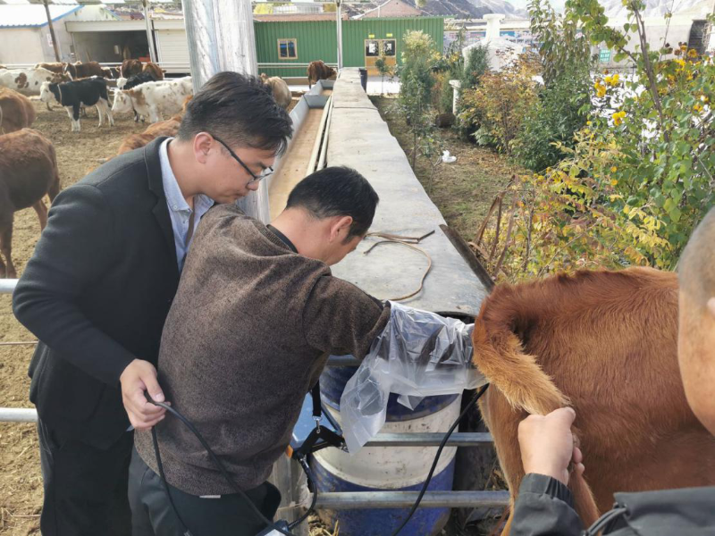 传统牛输精掏直肠