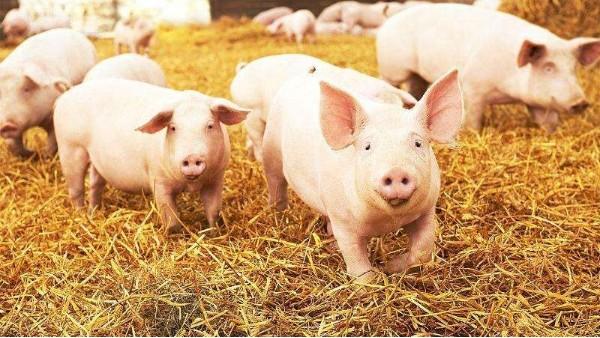 干一行爱一行,养猪人必看的猪三大生长阶段划分