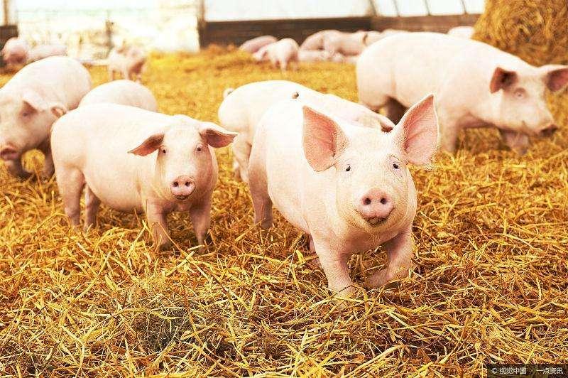 猪的三大生长阶段
