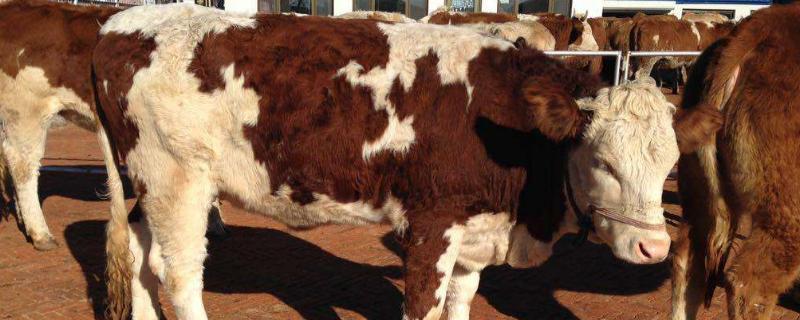 母牛怀孕观测