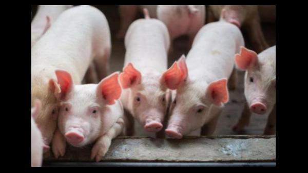 种猪采精的详细步骤!为何猪要人工授精?