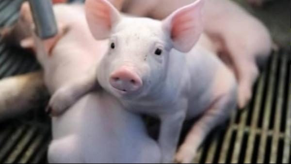 猪精如何处理?恒温搅拌器有什么用途?